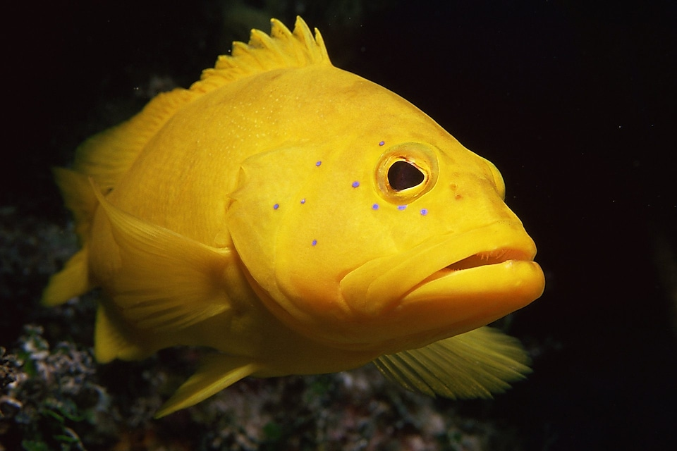 Yellow coney fish
