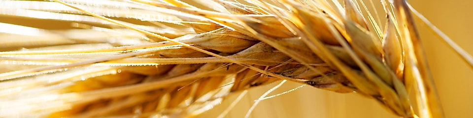 Ear of wheat (hordeum vulgare)