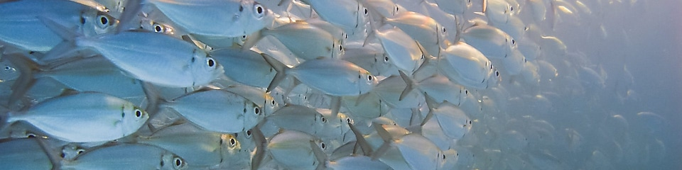 Large school of silver fish